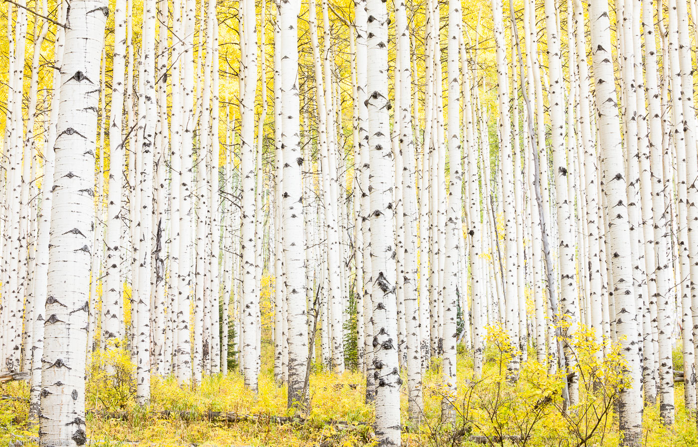 aspen, colorado, grove, autumn, usa, thick, golden, fall, season, photo