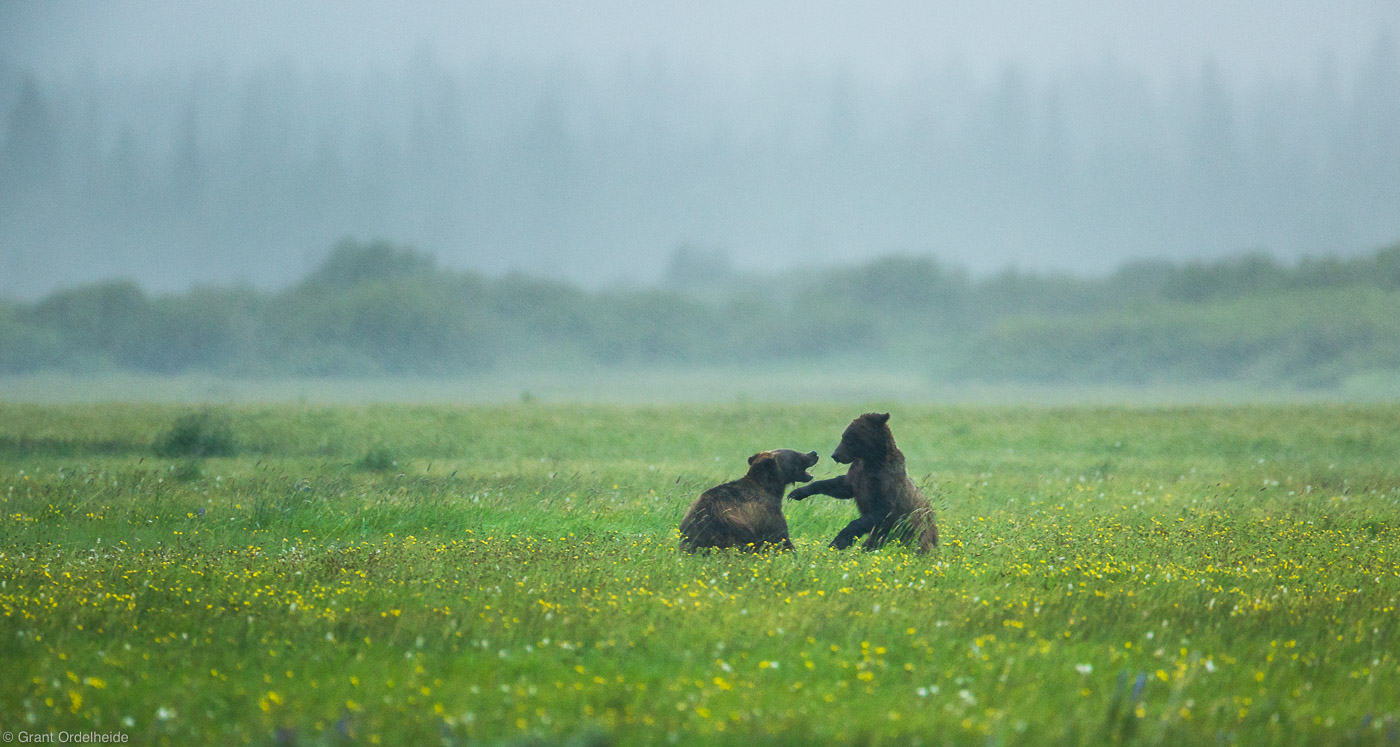 brothers, love, grand, teton, national park, wyoming, bear, grizzly, rainstorm, photo