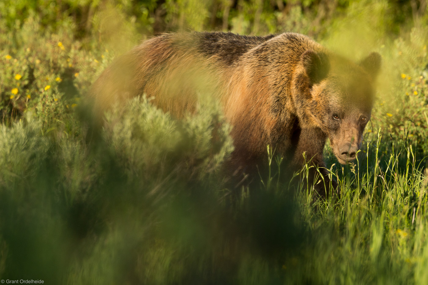 grizzly, bear, grand teton, national, park, wyoming, usa, photo
