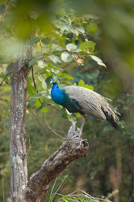indian, india, peacock, bandhavgarh, national, park, tree,, photo