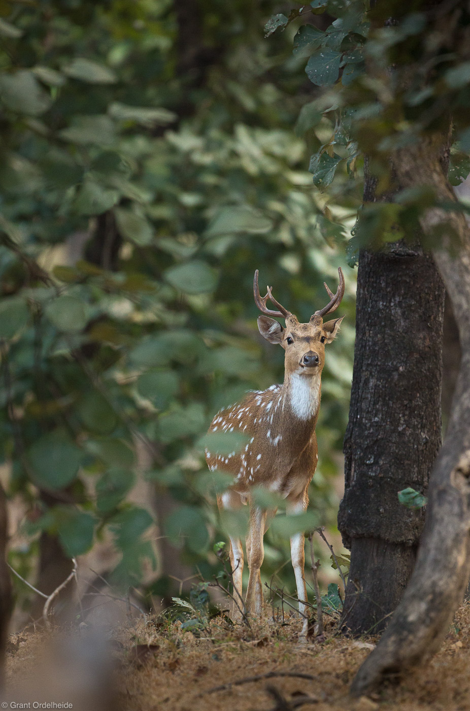 spotted, deer, bandhavgarh, national, park, india, trees, photo
