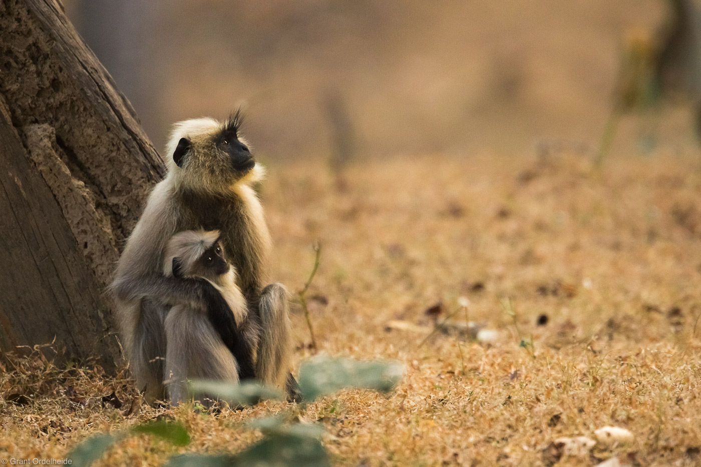 mother, child, langur, bandhavgarh, national, park, monkeys, , photo