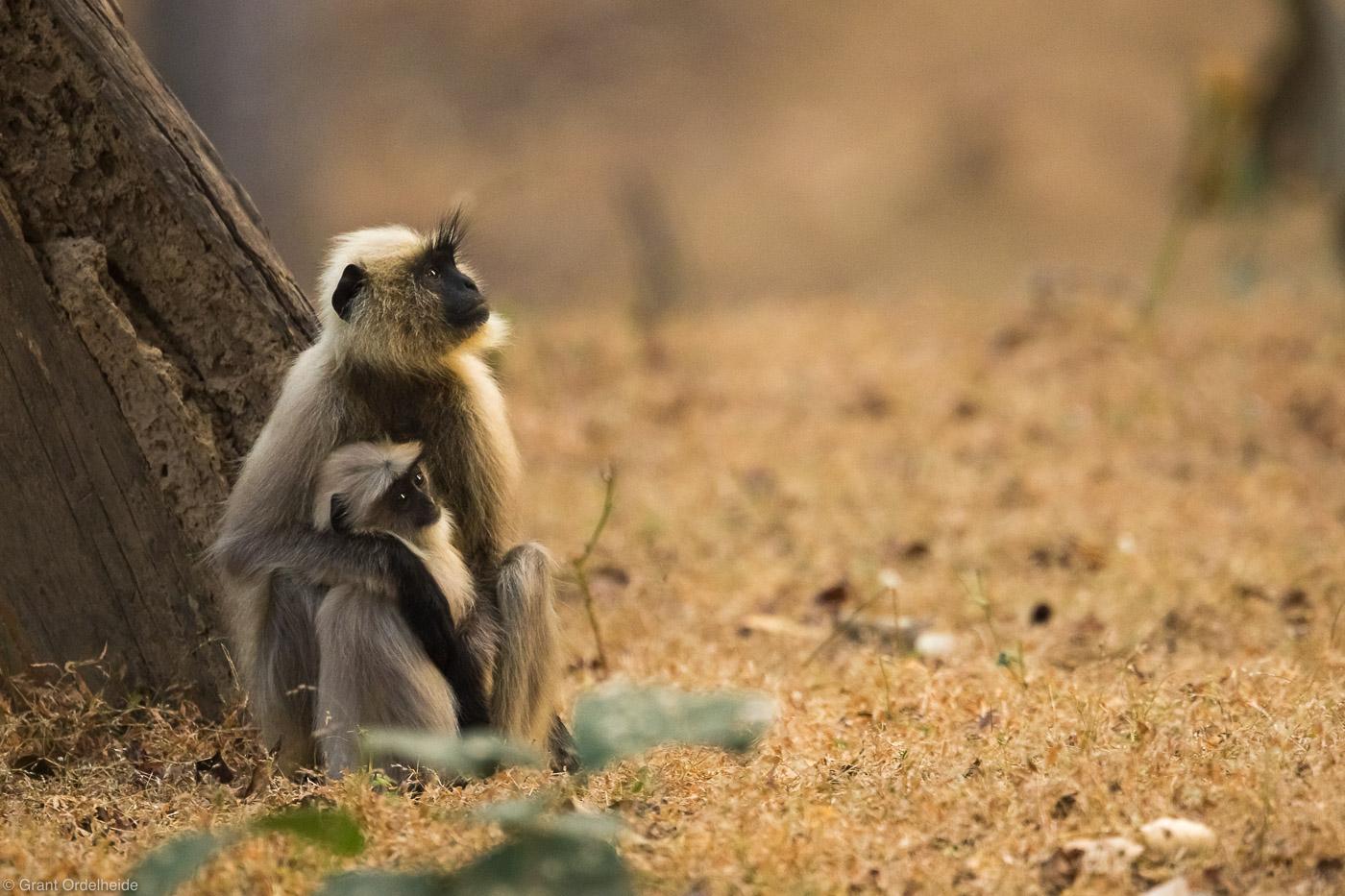 mother, child, langur, bandhavgarh, national, park, monkeys, , photo