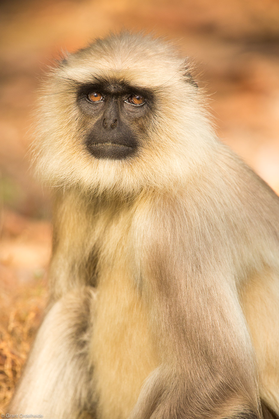 langur, monkey, portrait, bandhavgarh, national, park, india, , photo