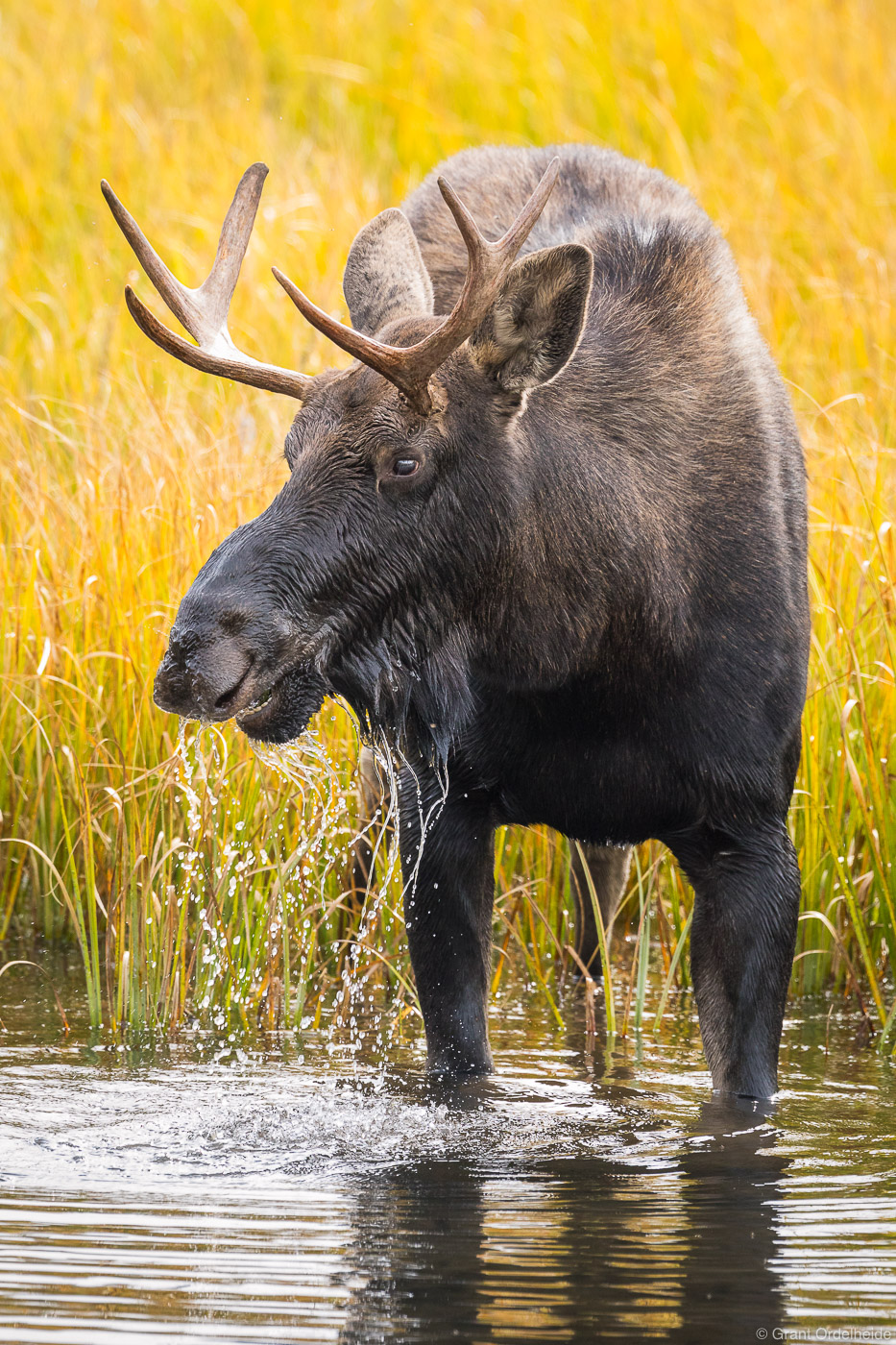 A young moose drinking from a small pond in Grand Teton National Park.
