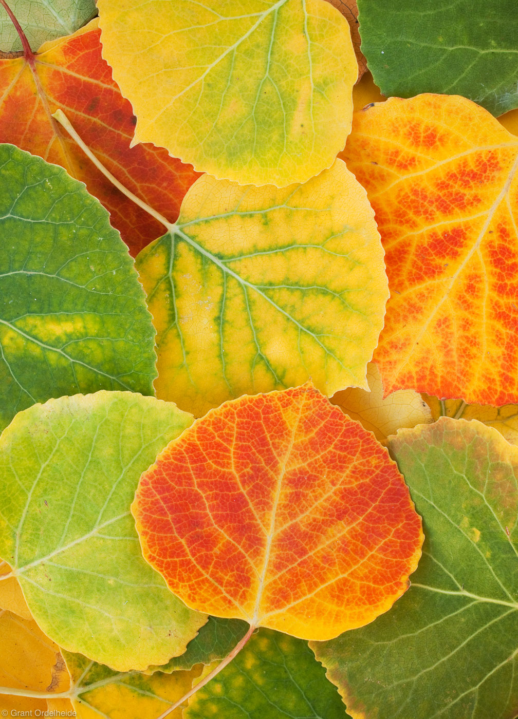 aspen, leaves, leaf, detail, telluride, colorado, photo