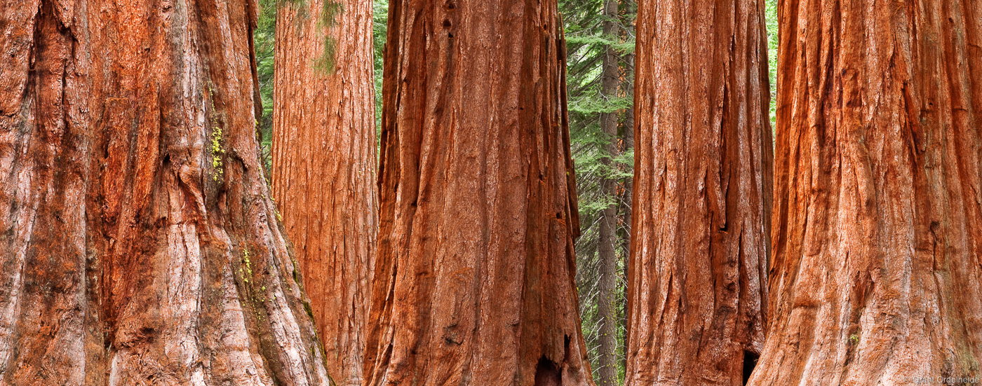 mariposa, grove, yosemite, national park, california, usa, bachelor and the three graces, giant sequoias, photo