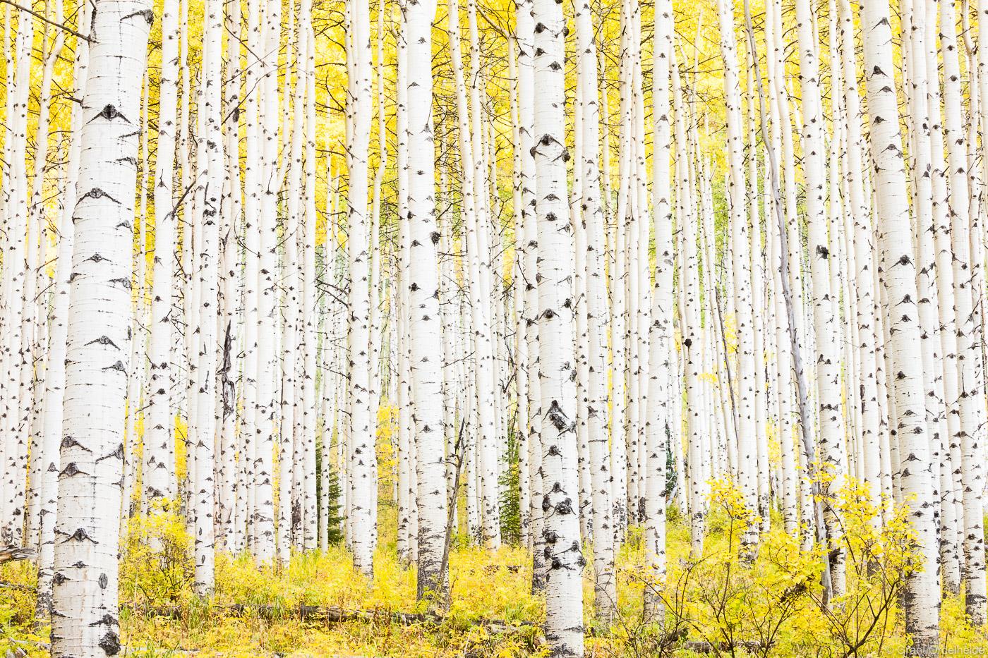 A dense grove of aspens during Colorado's golden fall season.