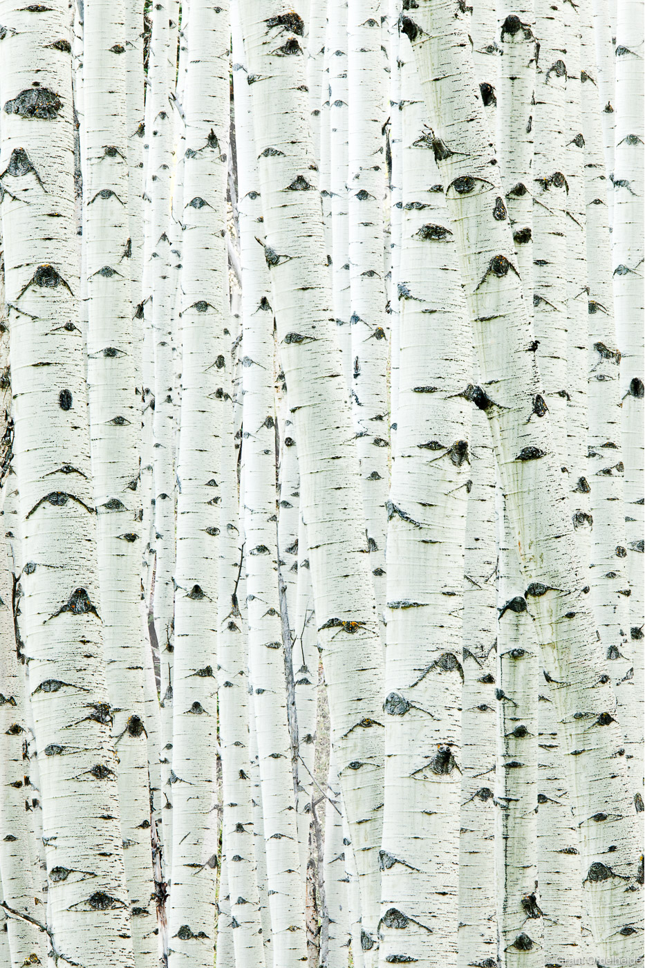 Details of aspen grove near Aspen Colorado.