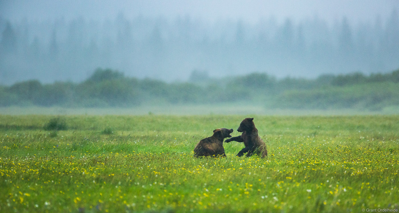 brothers, love, grand, teton, national park, wyoming, bear, grizzly, rainstorm