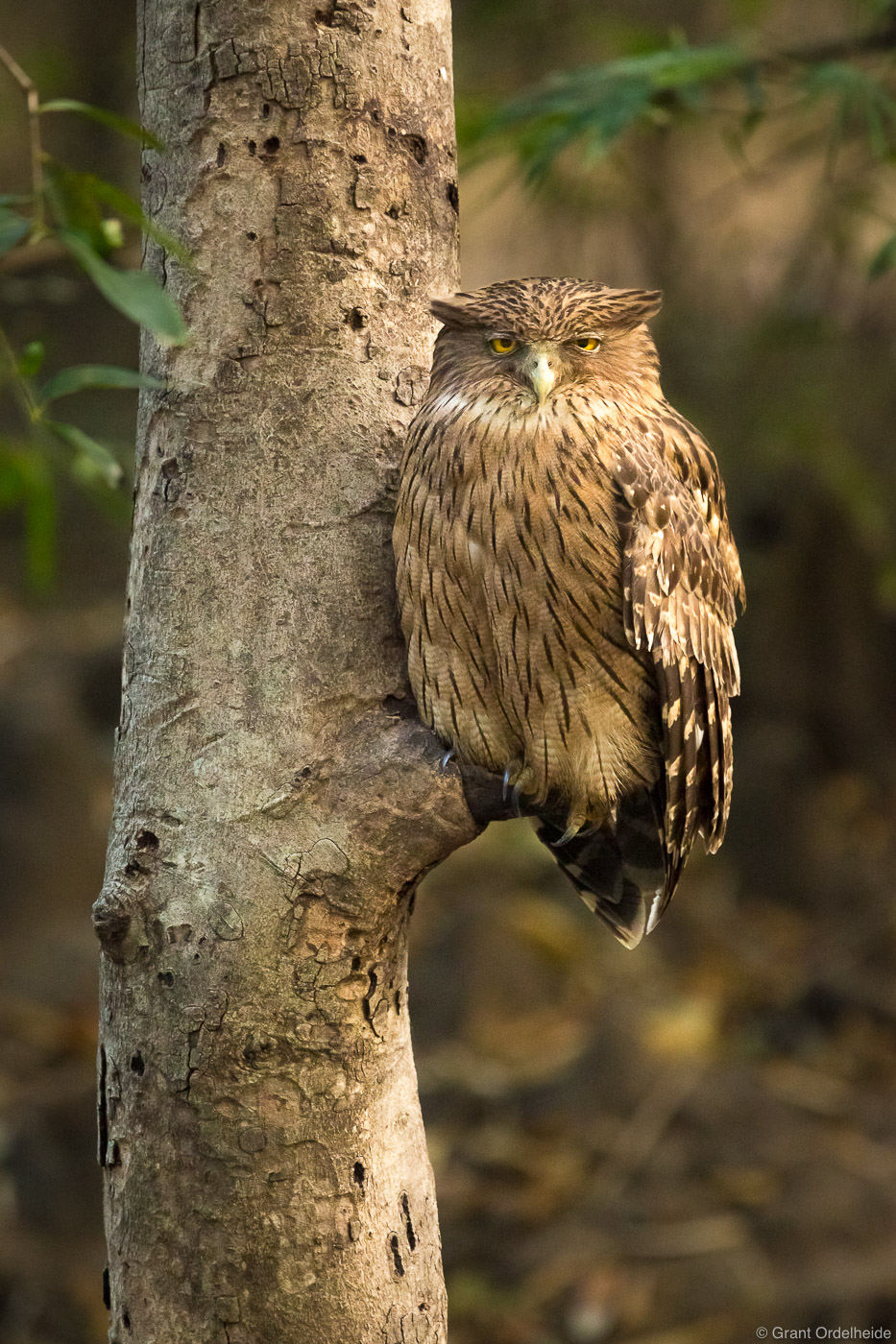 brown, fish, owl, branch, bandhavgarh, national, park, india, photo