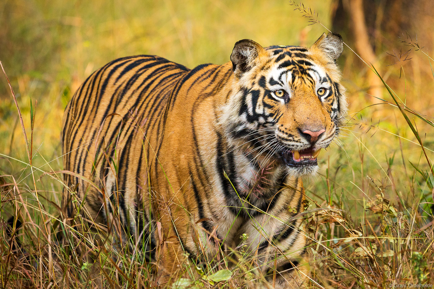 A wild and endangered Bengal tiger in India's Bandhavgarh National Park.