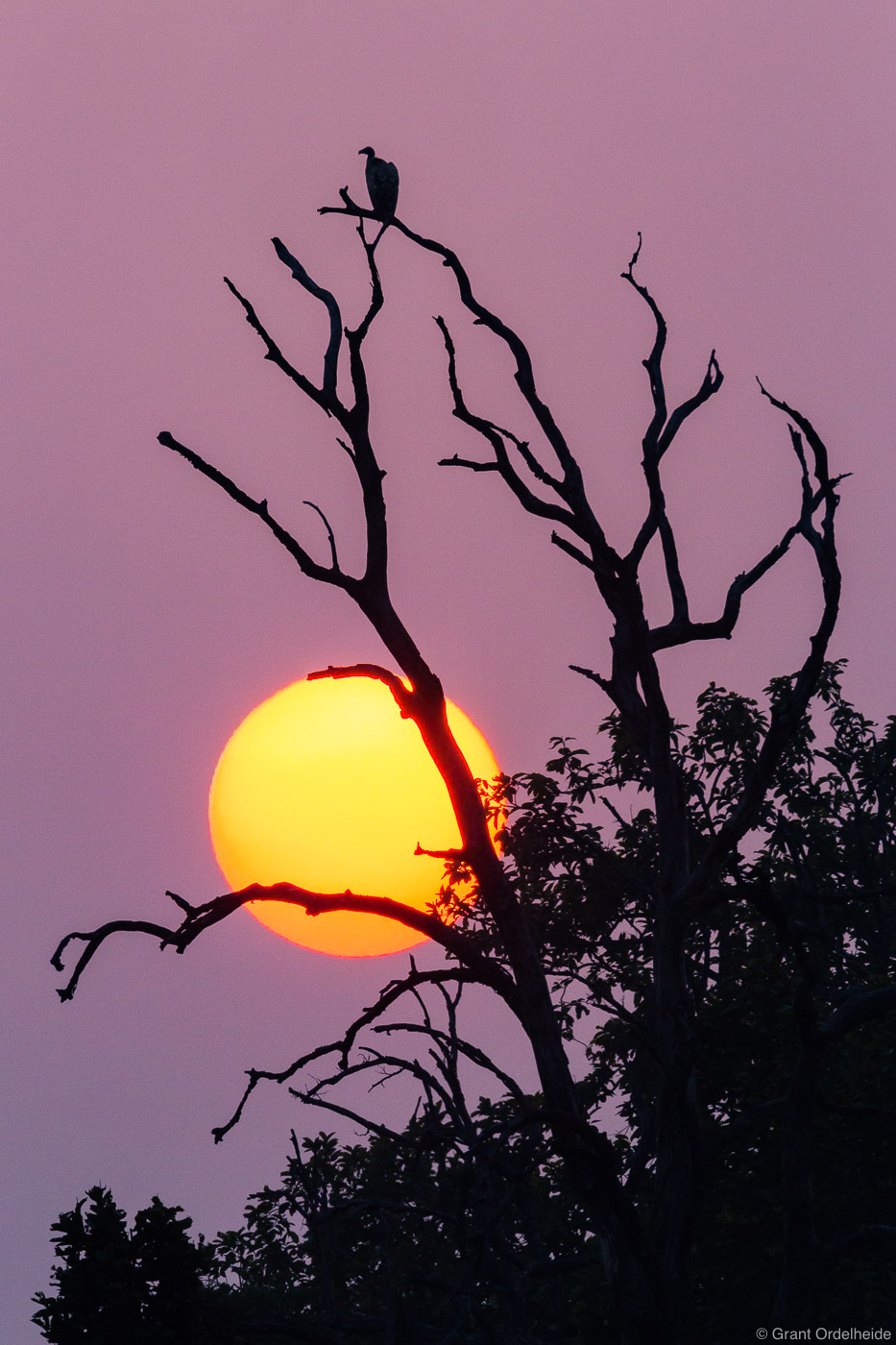 indian, vulture, sunset, bandhavgarh, national, park, india, old, tree, sun, photo