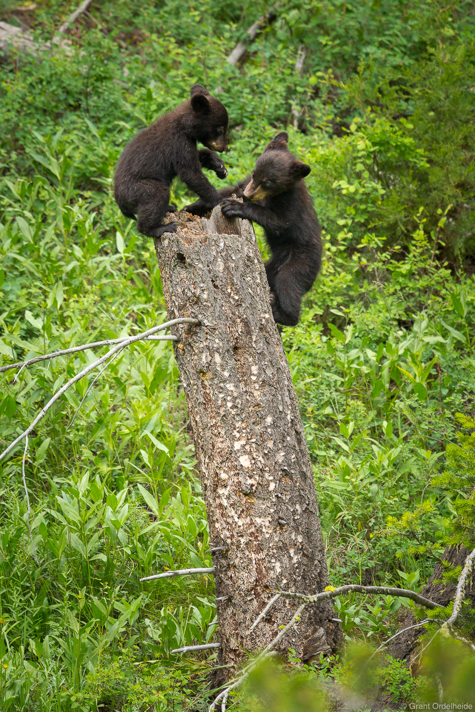black, bear, cubs, playing, yellowstone, national, park, wyoming, usa, couple, stump, photo