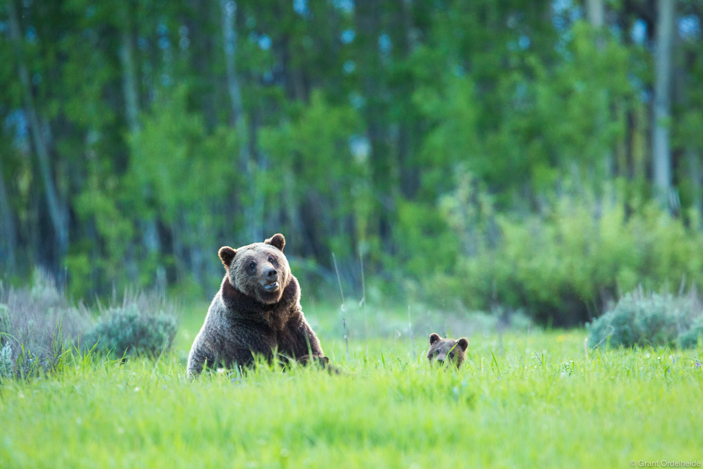 grizzly, cub, mother, young, grand, teton, national, park, wyoming, usa,