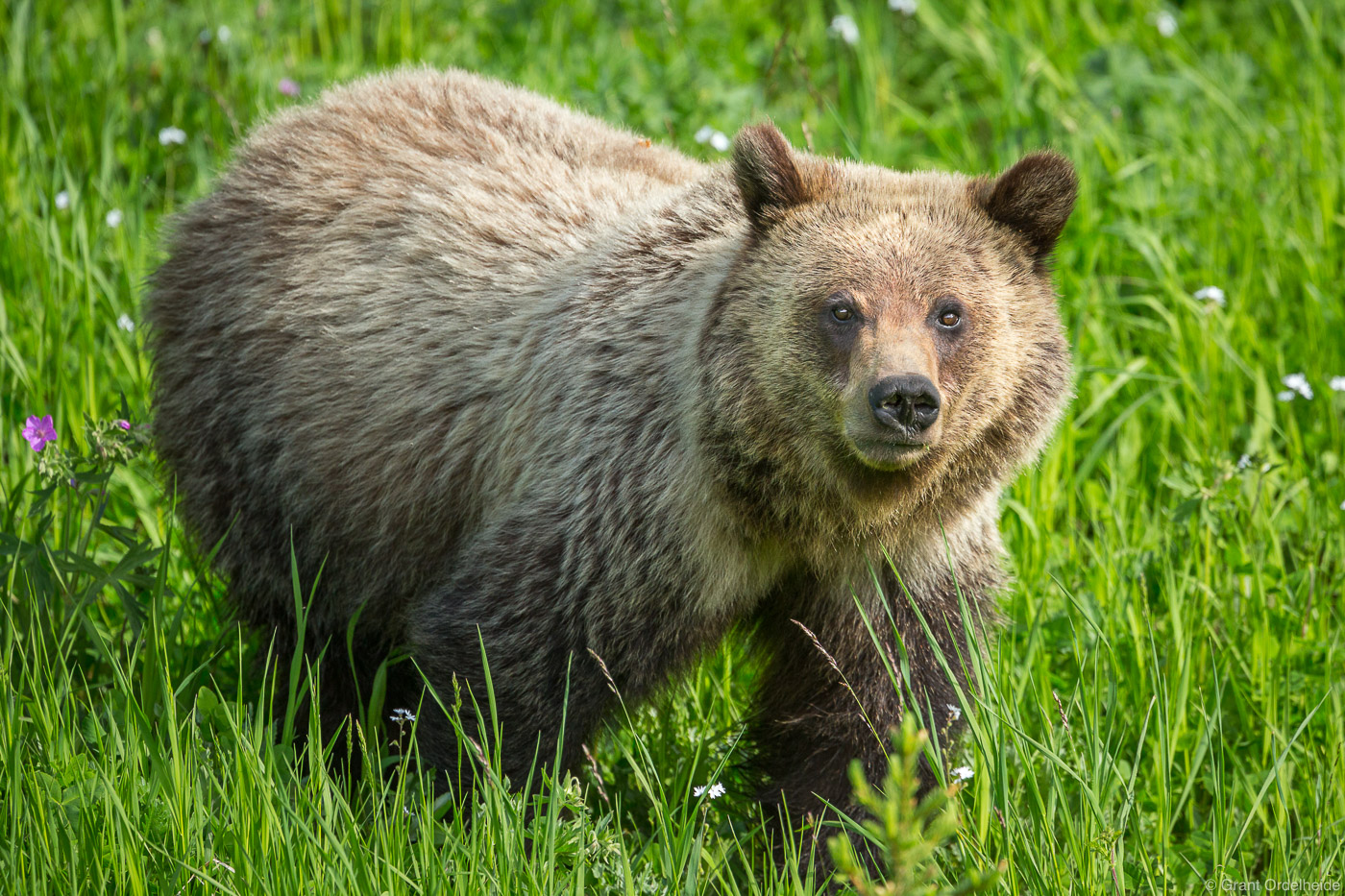 A grizzly bear wanders just outside of Yellowstone National Park.