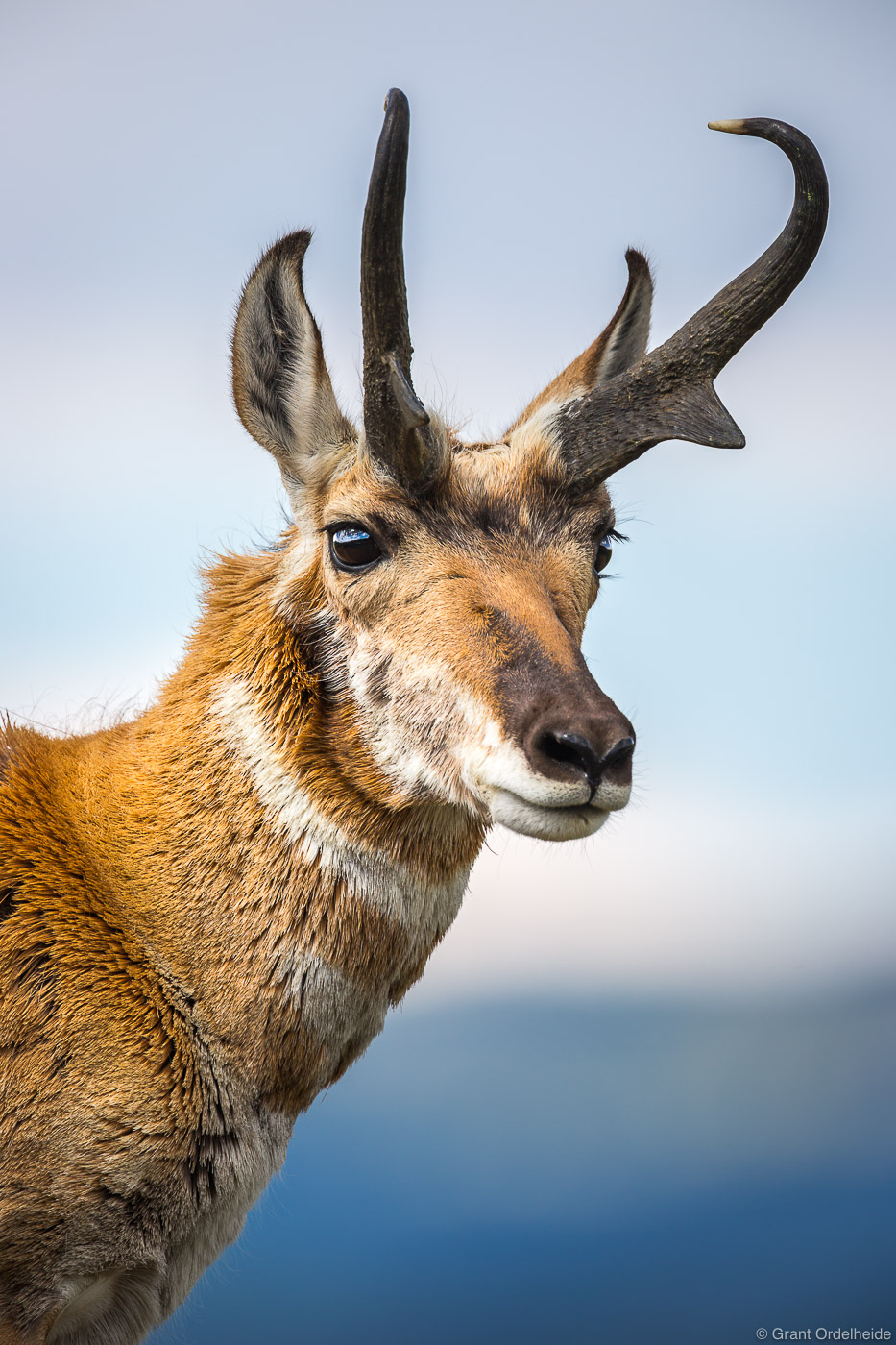 pronghorn, Yellowstone, national, park, wyoming, usa, young, portrait, photo