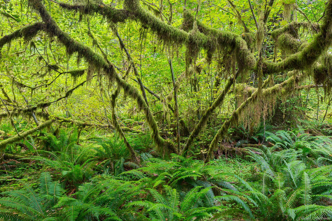 A vine maple in the Hoh Rainforest in Washington's Olympic National Park.