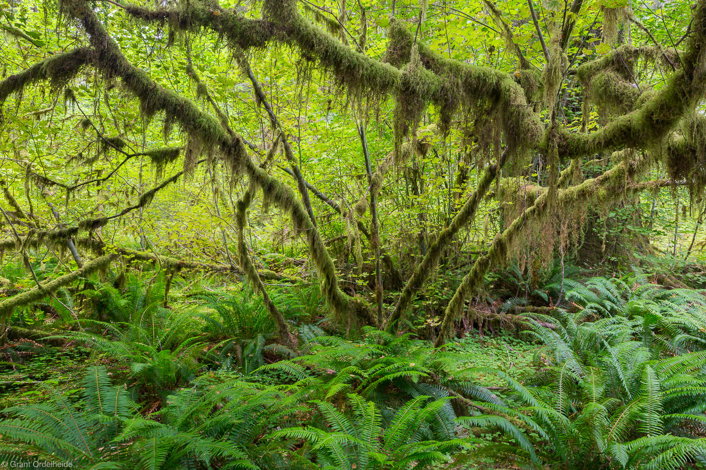 vine, maple, olympic, national, park, washington, hoh, rainforest