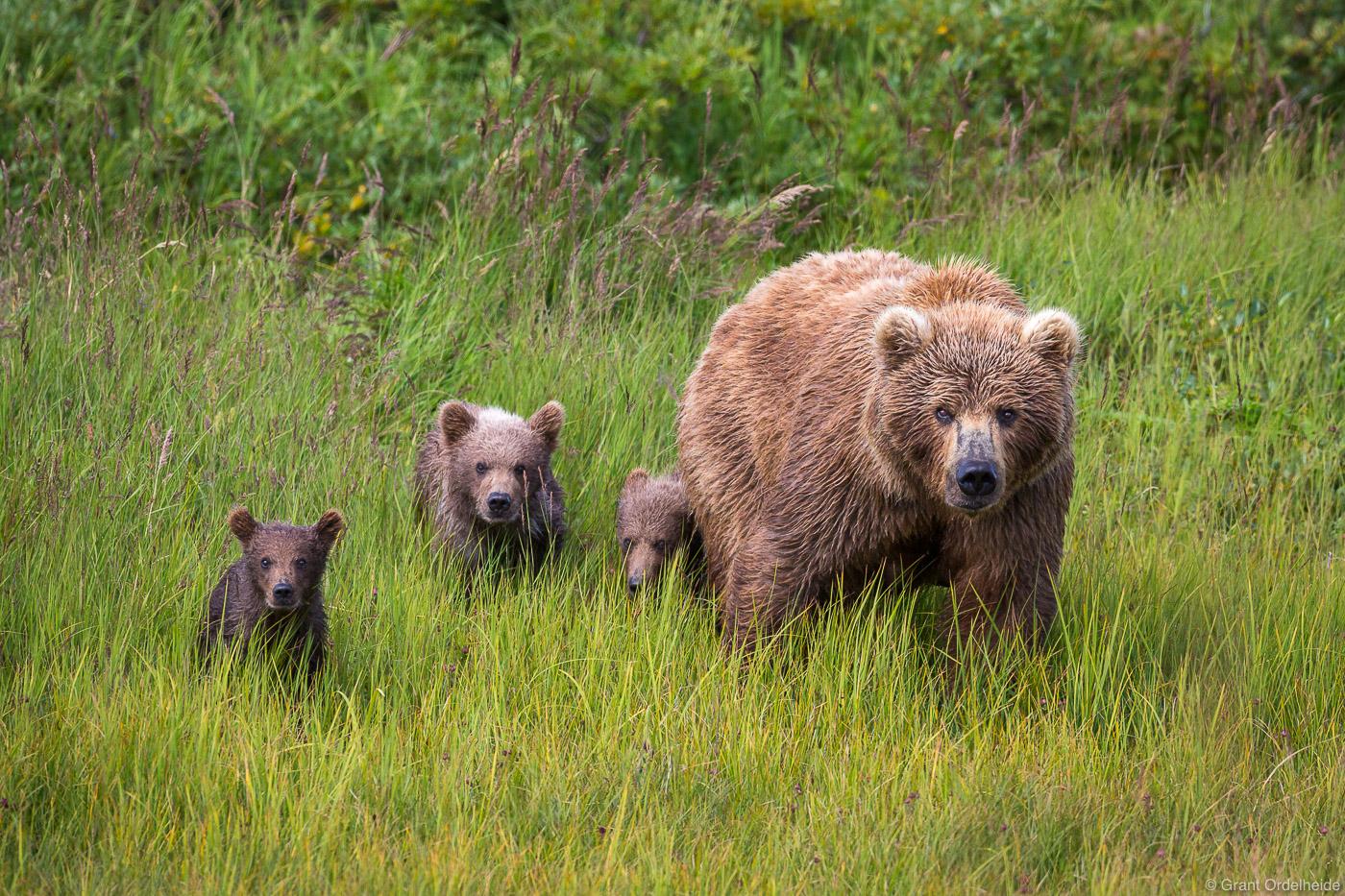 bear, family, katmai, national, park, preserve, alaska, usa, peninsula, bears, ursus arctos horribilis, , photo