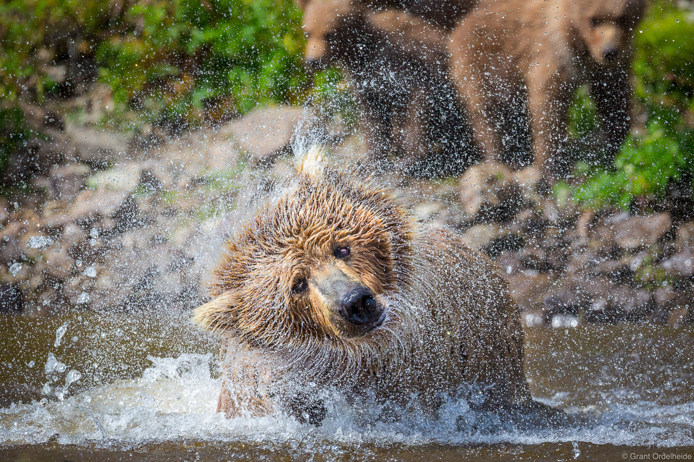 A mother brown bear shakes off water after diving forsalmon asher cubs watch in the background.