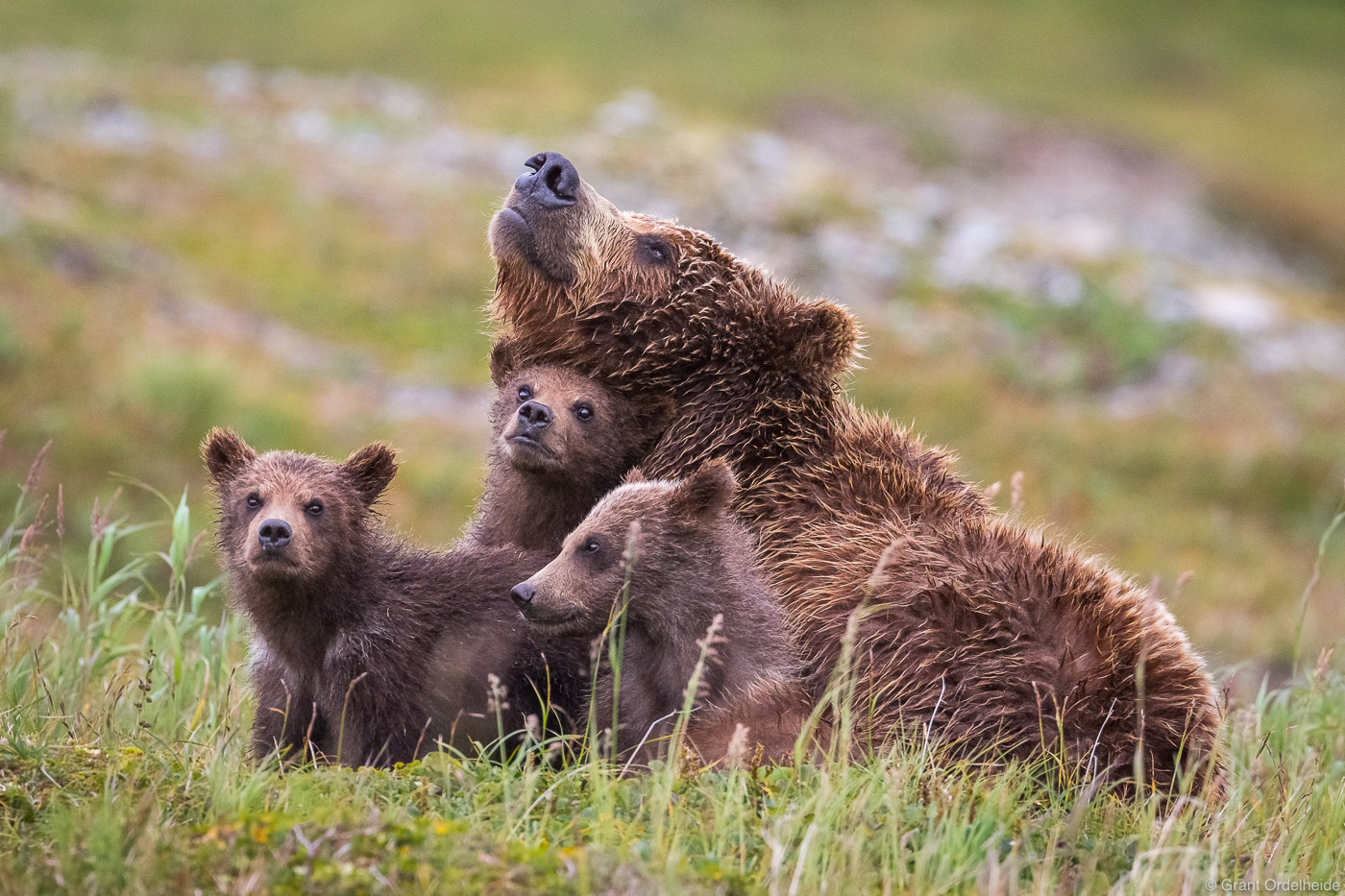 A mother bear with three young cubs in Alaska's Katmai National Park and Preserve.