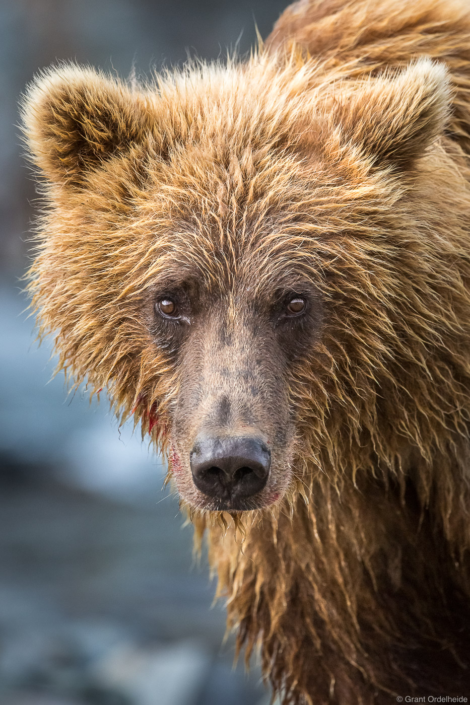 alaska, bear, brown, katmai, national, park, usa, preserve, portrait, young, photo