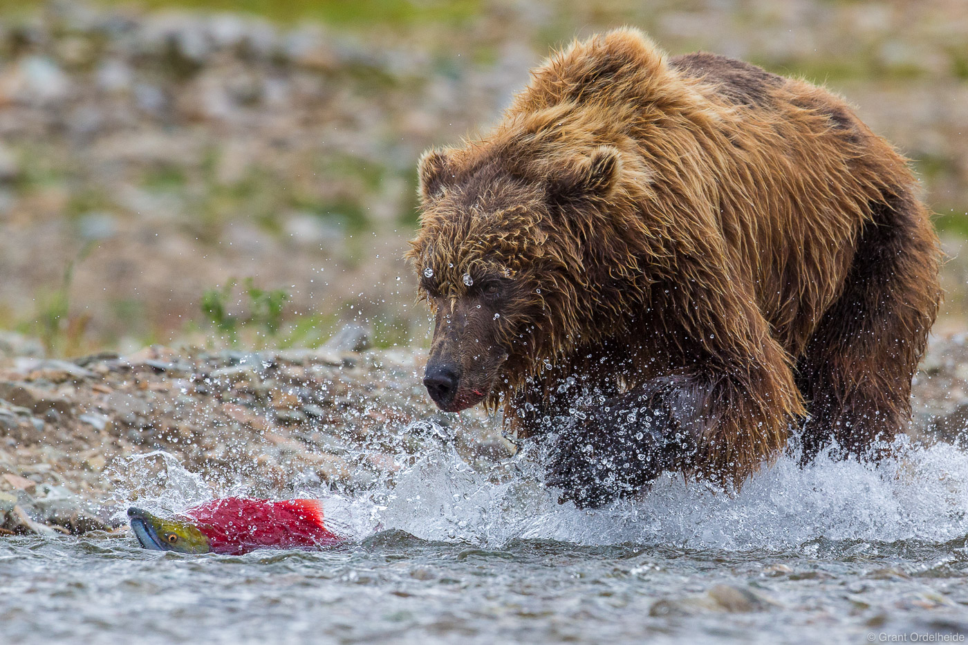 alaska, bear, brown, katmai, naitonal park, usa, chase, chases, preserve, sockeye, salmon, photo