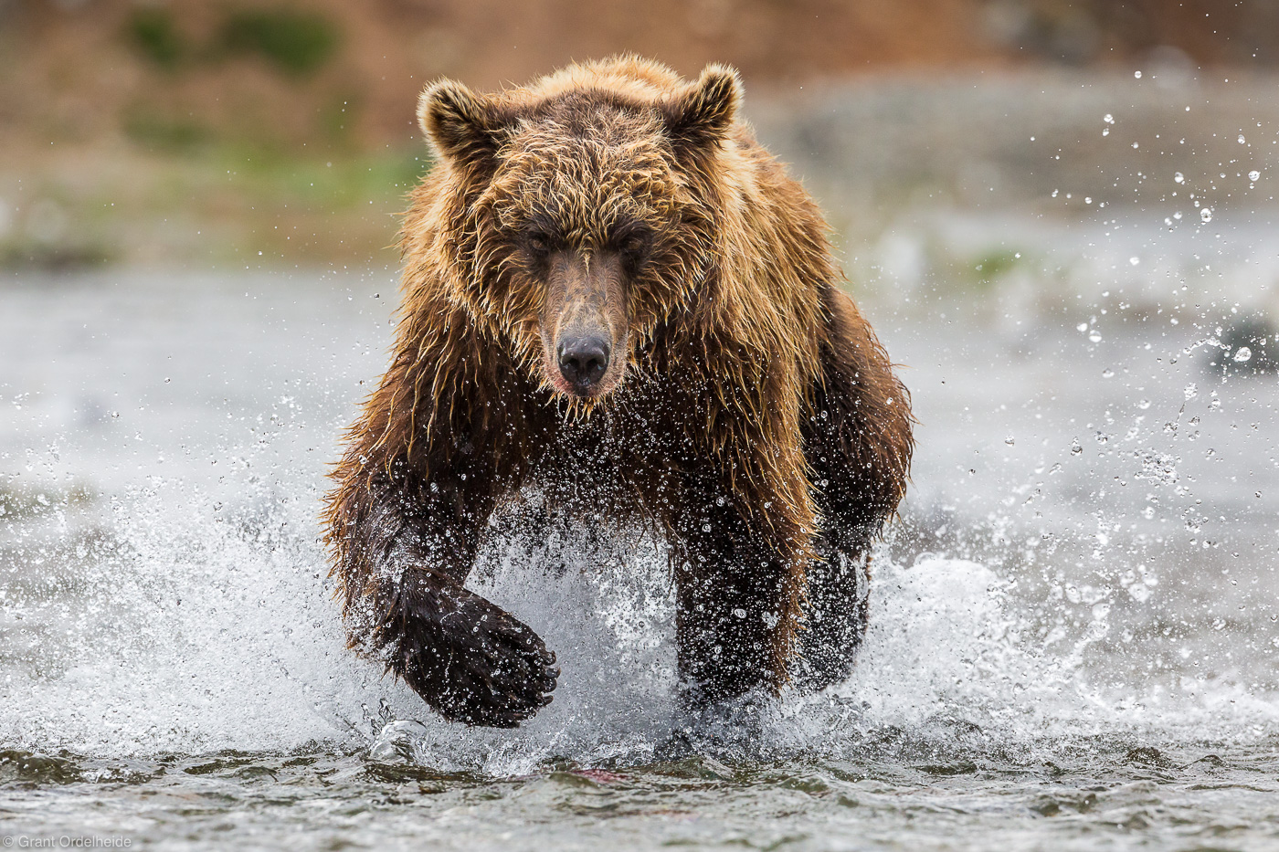 alaska, bear, brown, katmai, naitonal park, usa, hunting, salmon, preserve, sockeye