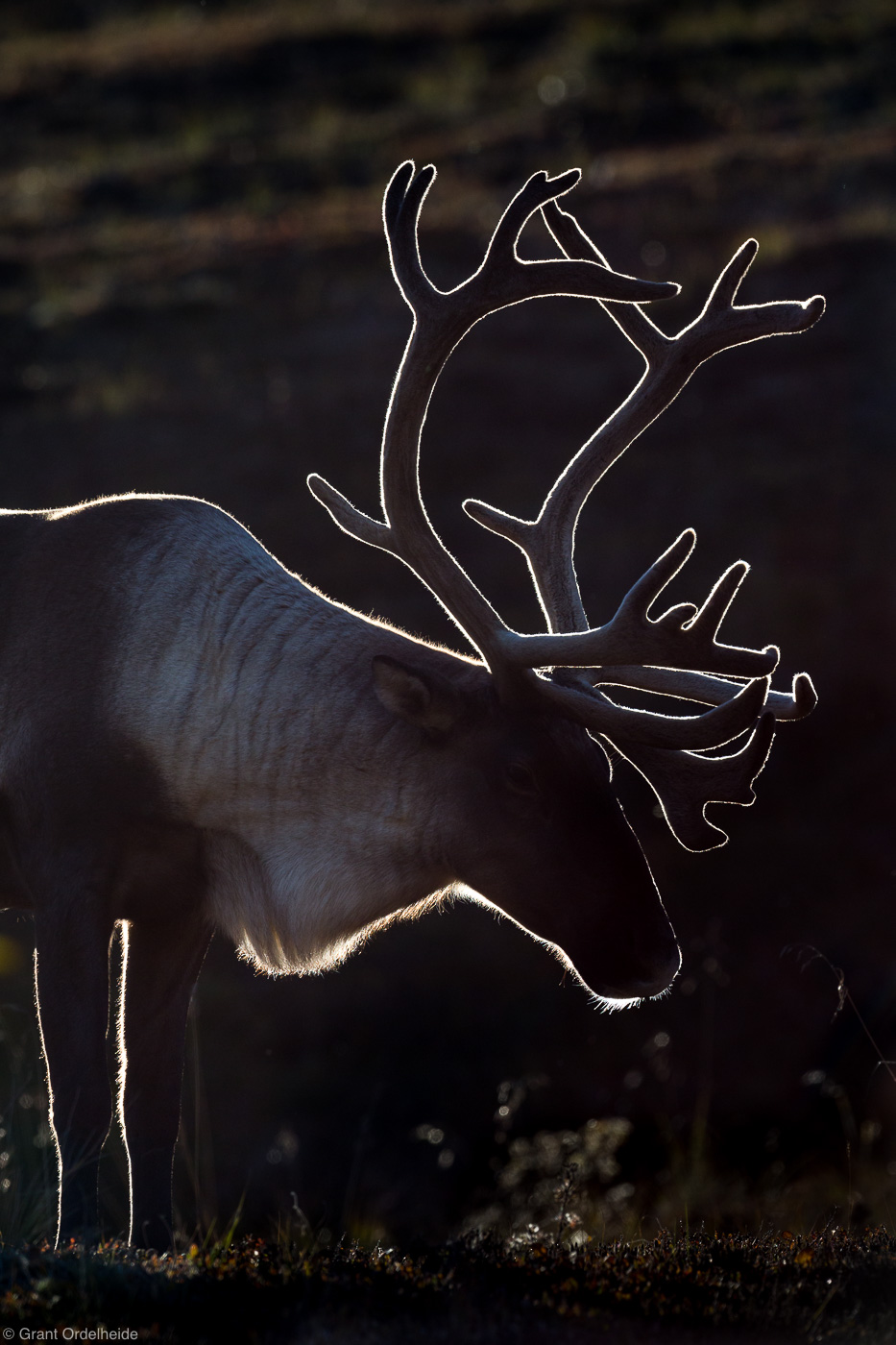 caribou, denali, national, park, alaska, usa, backlit, , photo