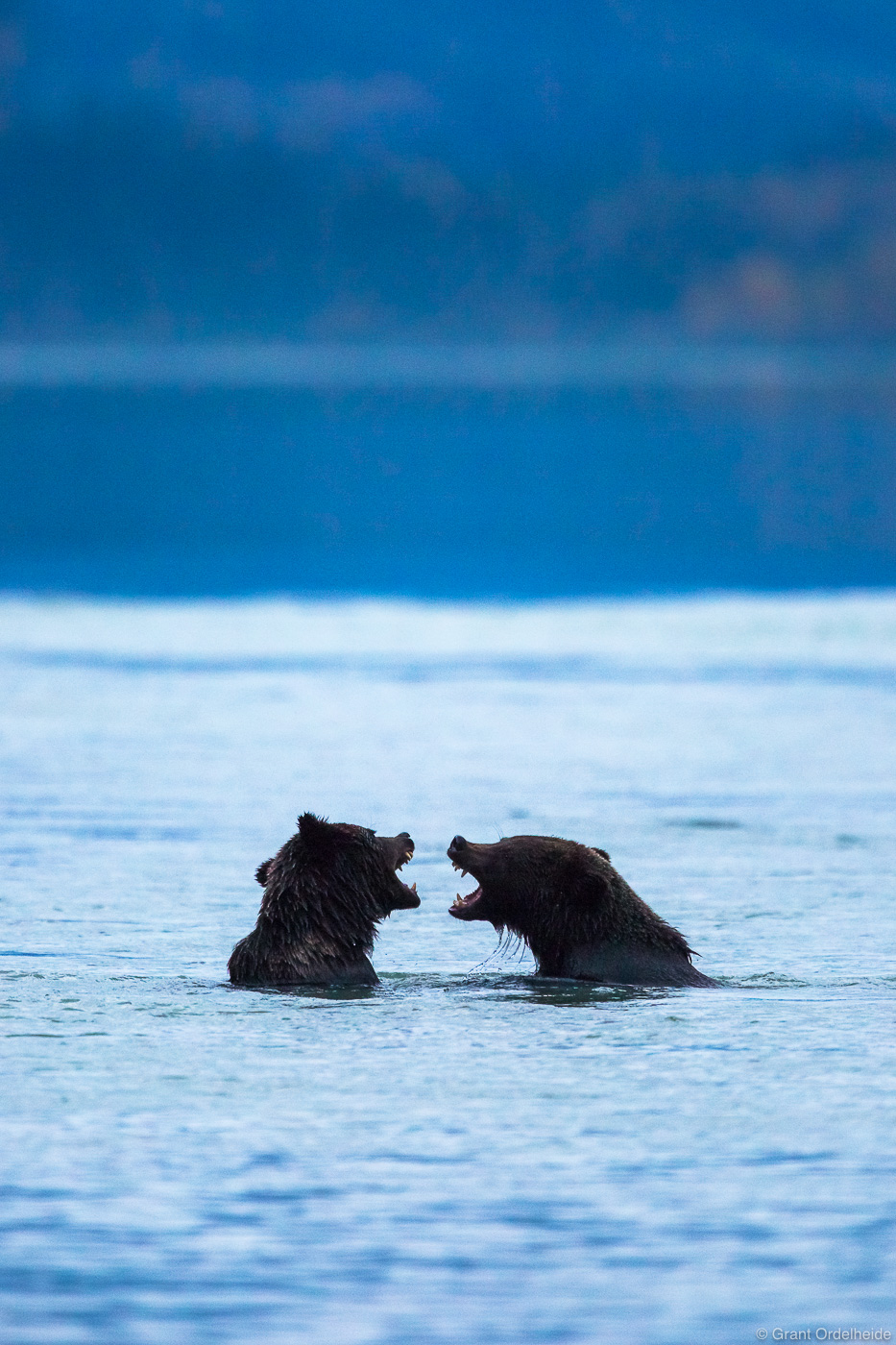 A couple of young grizzly bears (Ursus arctos) playing along the shore of Chilkoot lake near Haines, Alaksa.