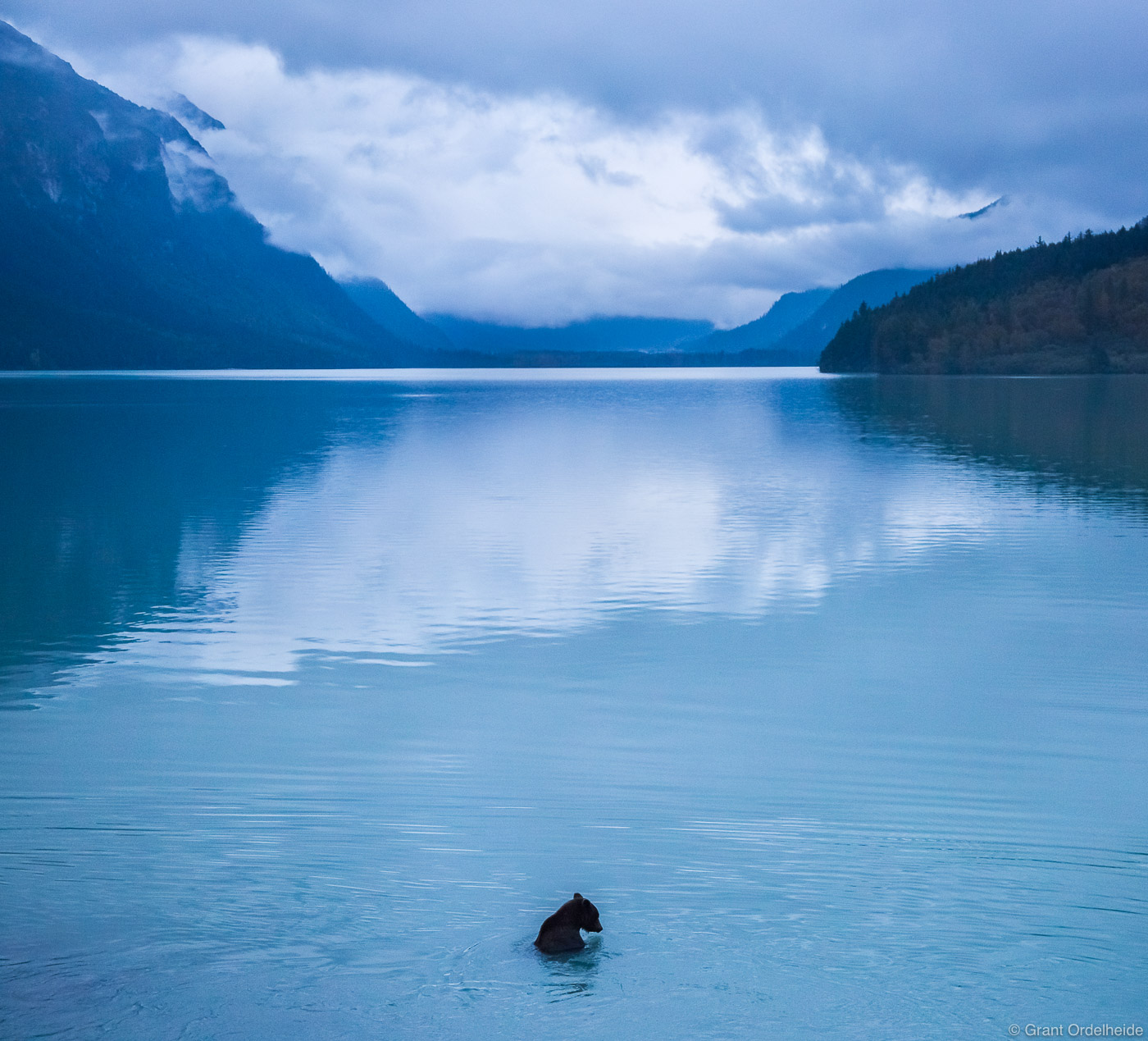 lone, bear, haines, alaska, usa, female, brown, bear, swims, lake,, photo