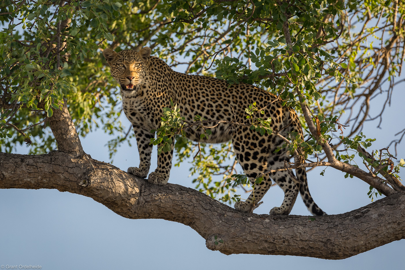 Africa, leopardess, sabi, sands, south, africa, female, leopard, branch, tree, high,, photo