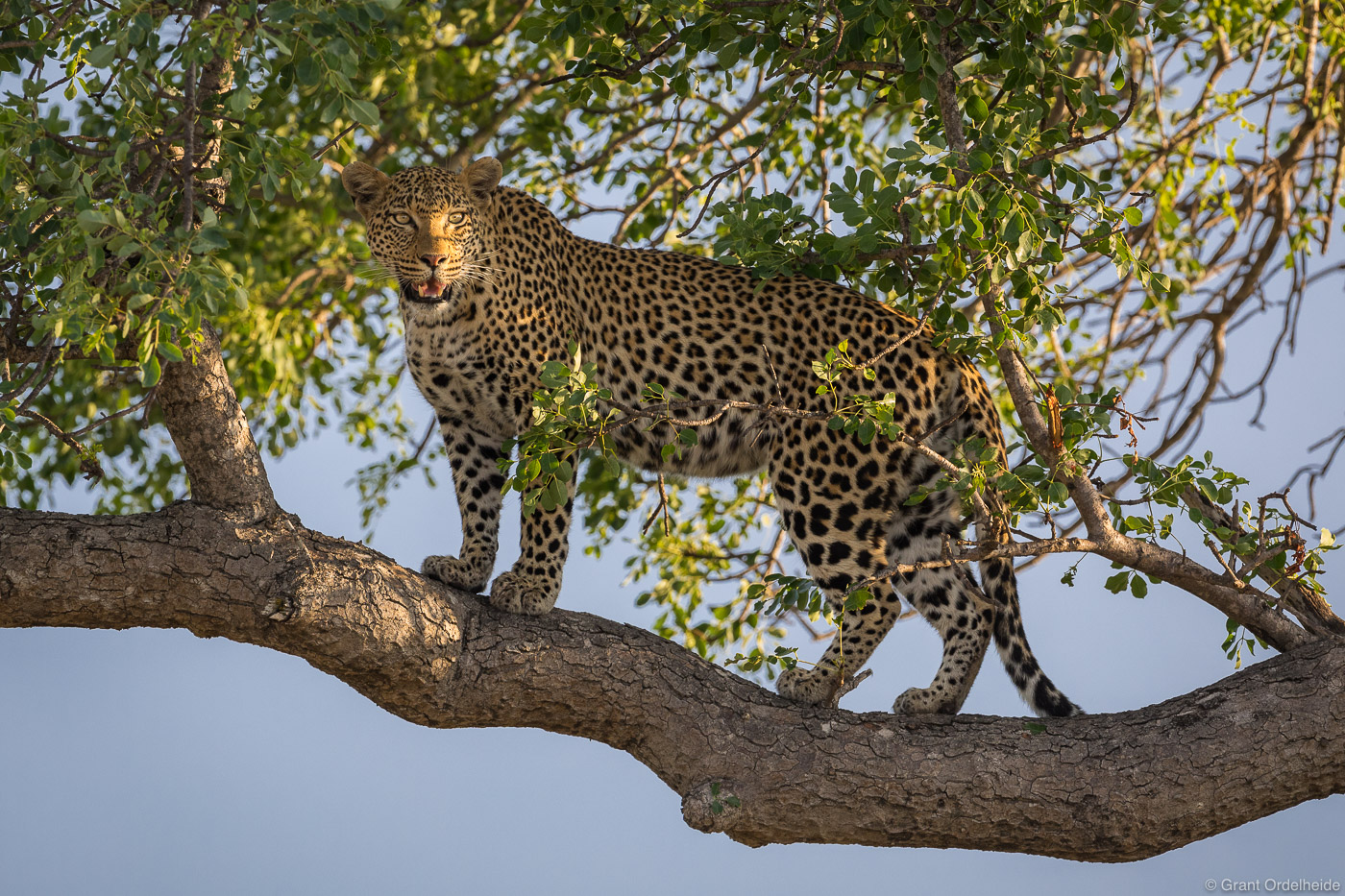 A female leopard standing on a branch high in a tree.