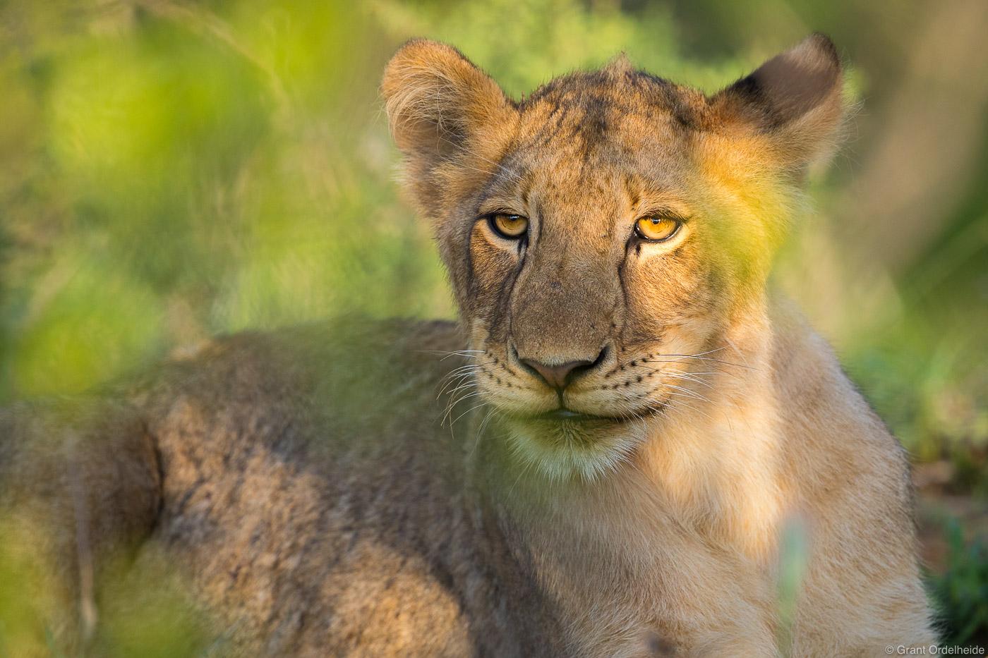 A young lion cubin Sabi Sands Game Reserve.