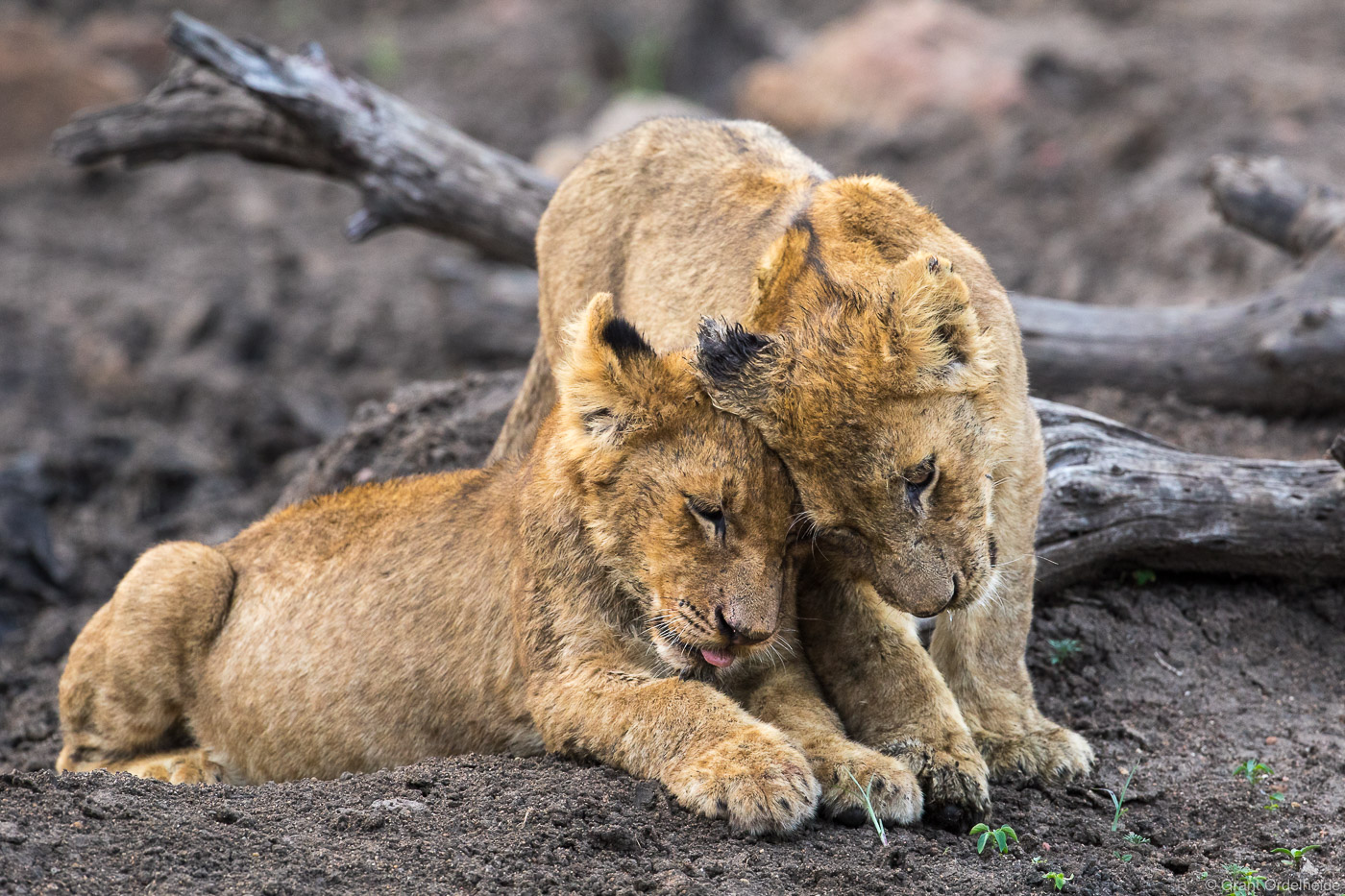 brotherly, love, sabi, sands, south, africa, two, young, cubs, affection, game, reserve, lion,, photo