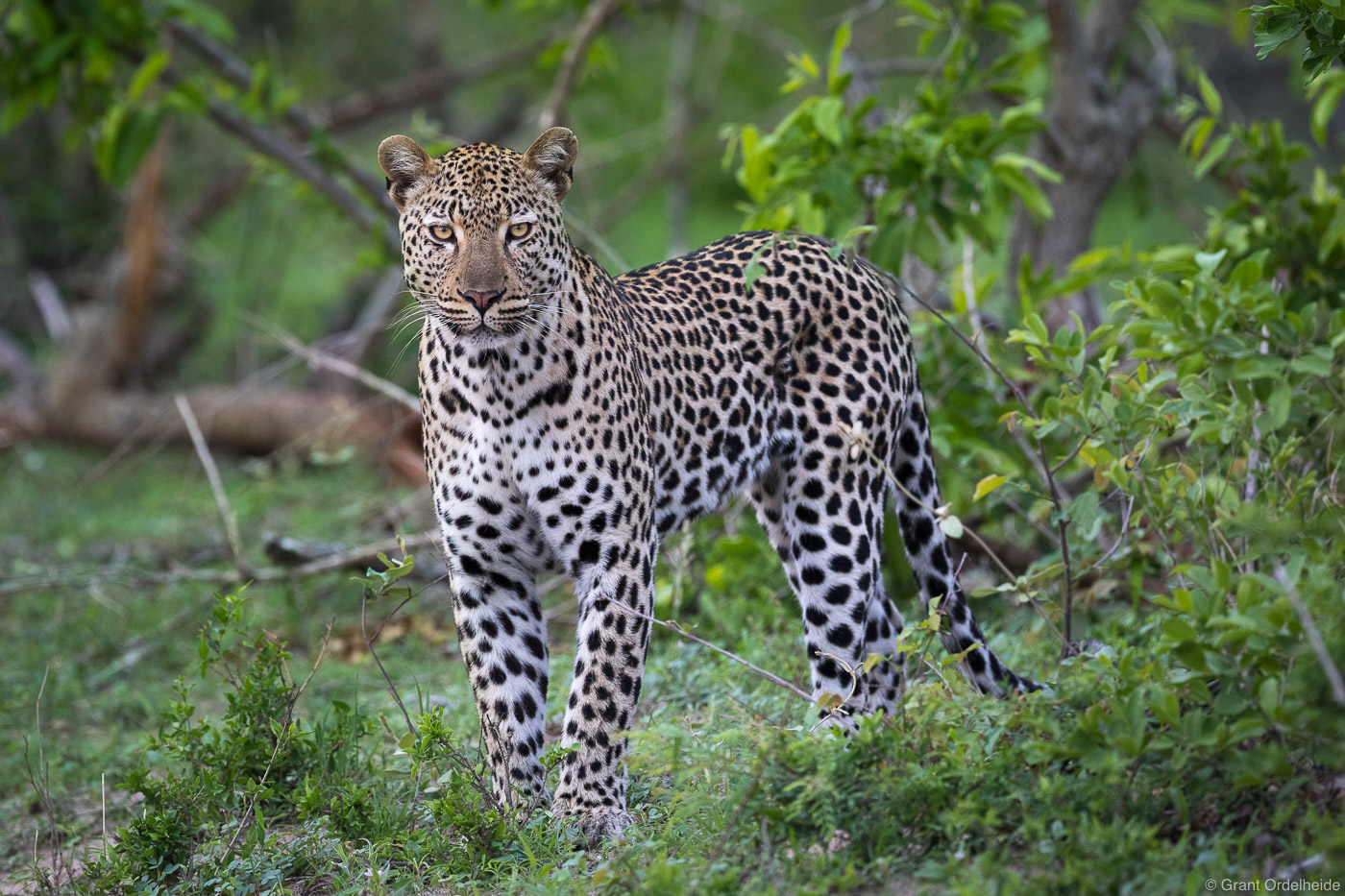 male, leopard, sabi, sands, south, africa, young, emerges, bush, game, reserve,, photo