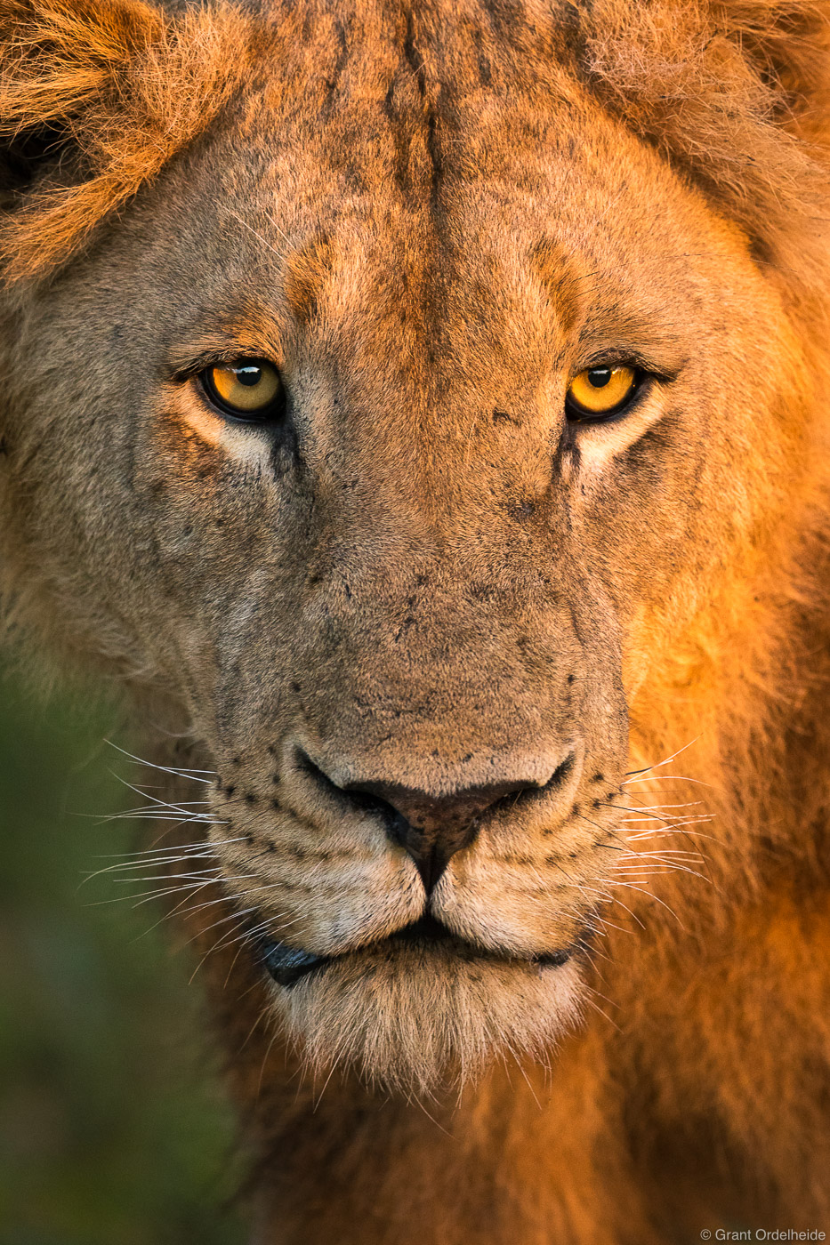 lion, dawn, sabi, sands, south, africa, early, morning, light, face, teenage, male, , photo