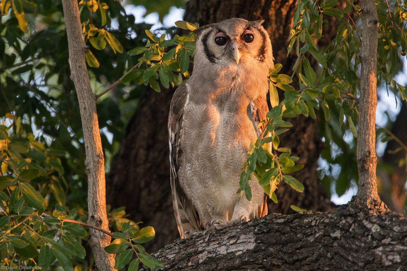 Verreaux's, eagle-owl, okavango, delta, botswana, sunset,, photo