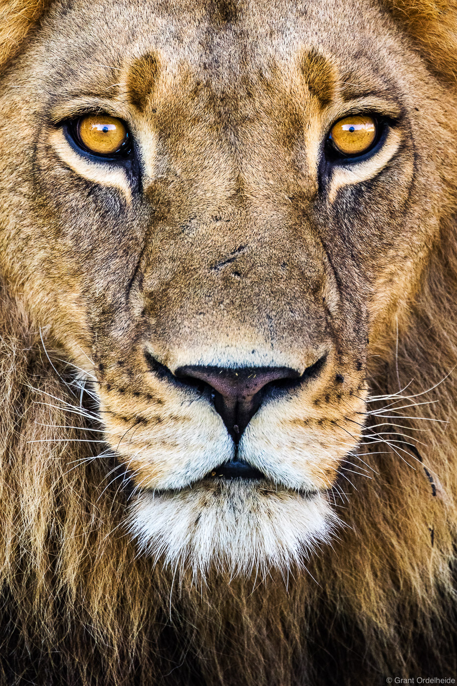 king, okavango, delta, botswana, portrait, wild, lion, , photo