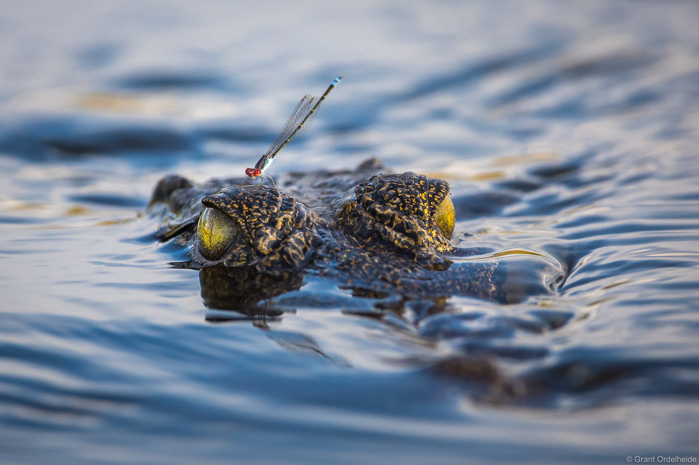 A damselfly catches a ride on the head of a small crocodile in the Okavango Delta.