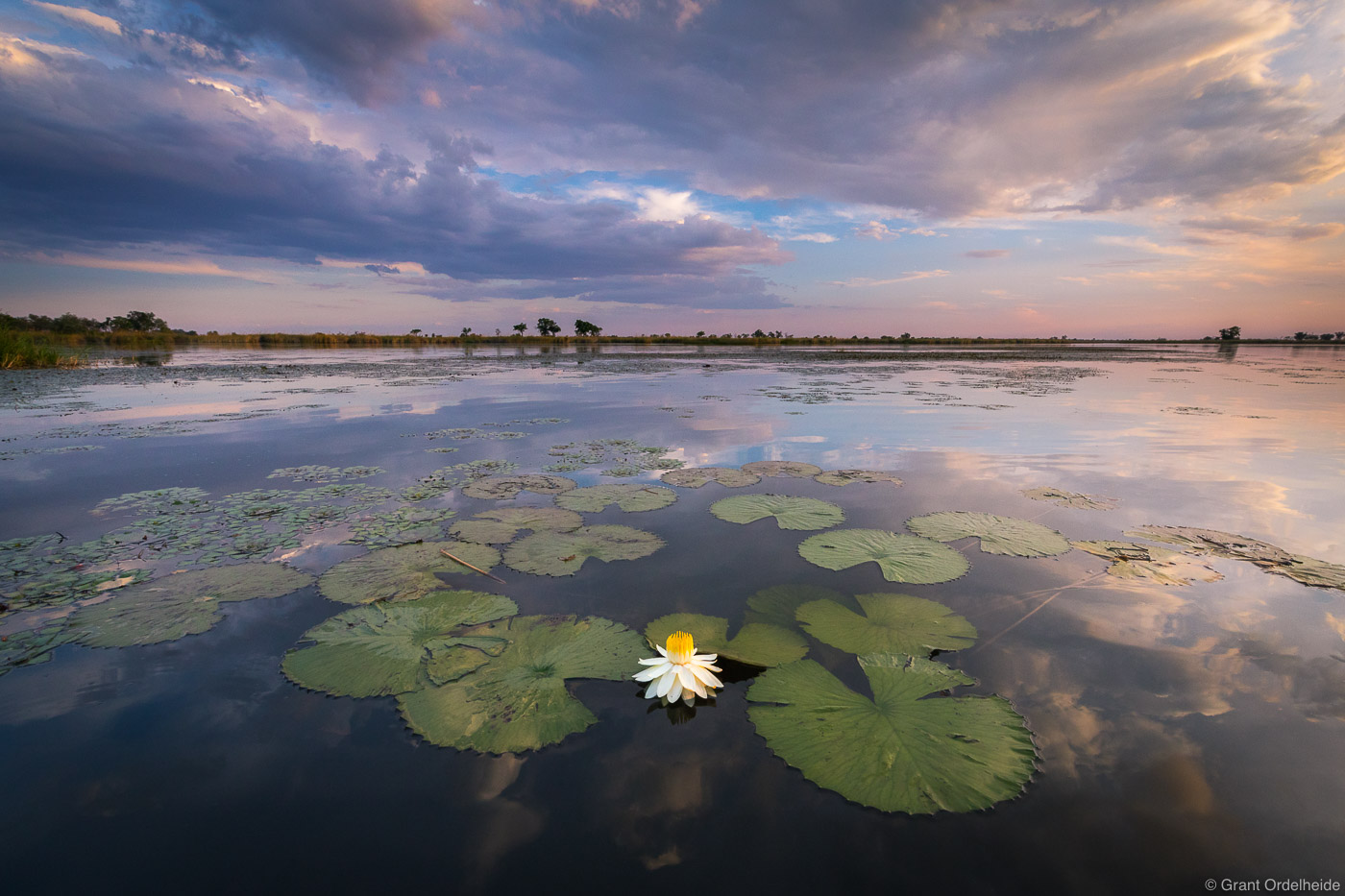 A Night-blooming Waterlily at sunset on the Okavago river delta.