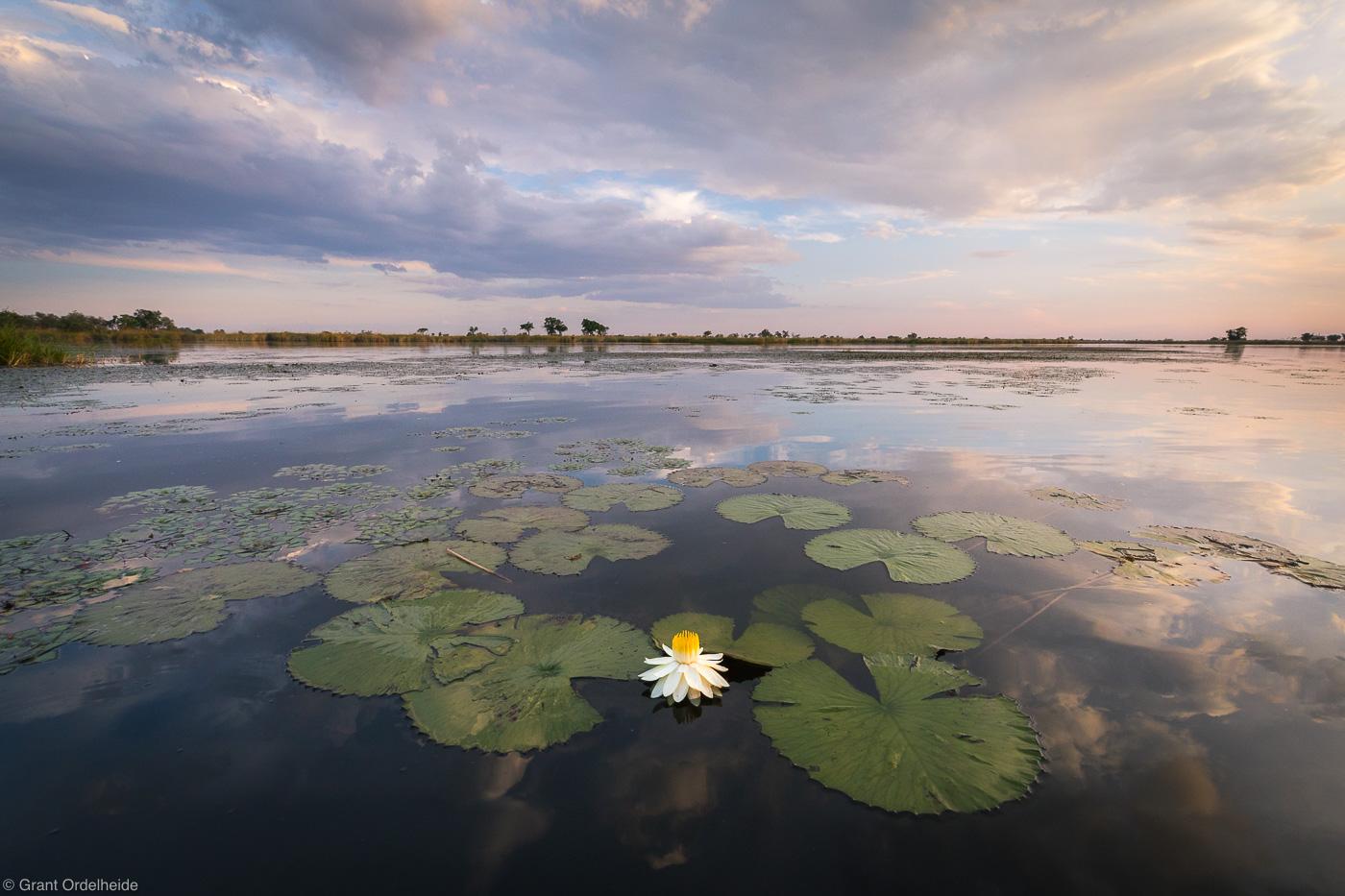 okavango, sunset, delta, botswana, night-blooming, waterlily, sunset, river,, photo