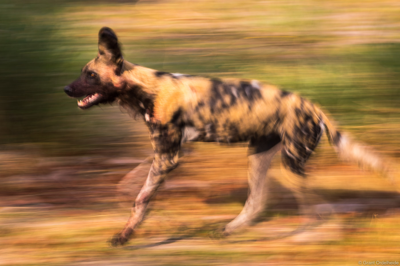 african, wild, dog, okavango, delta, botswana, chasing, impala, pack, motion, blurred,, photo