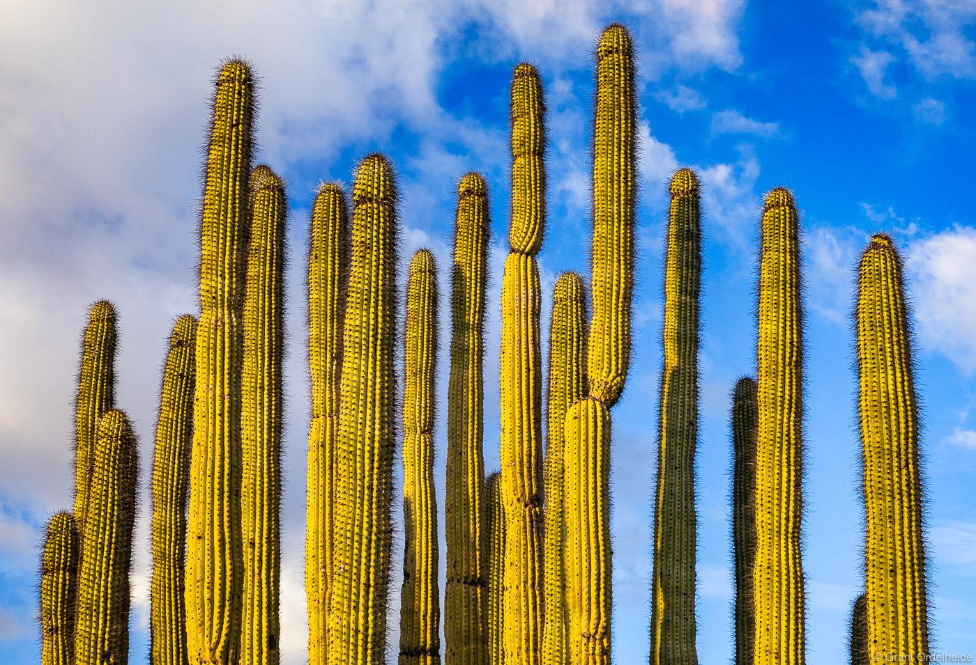 An organ pipe cactus in Arizona's Organ Pipe Cactus National Monument.