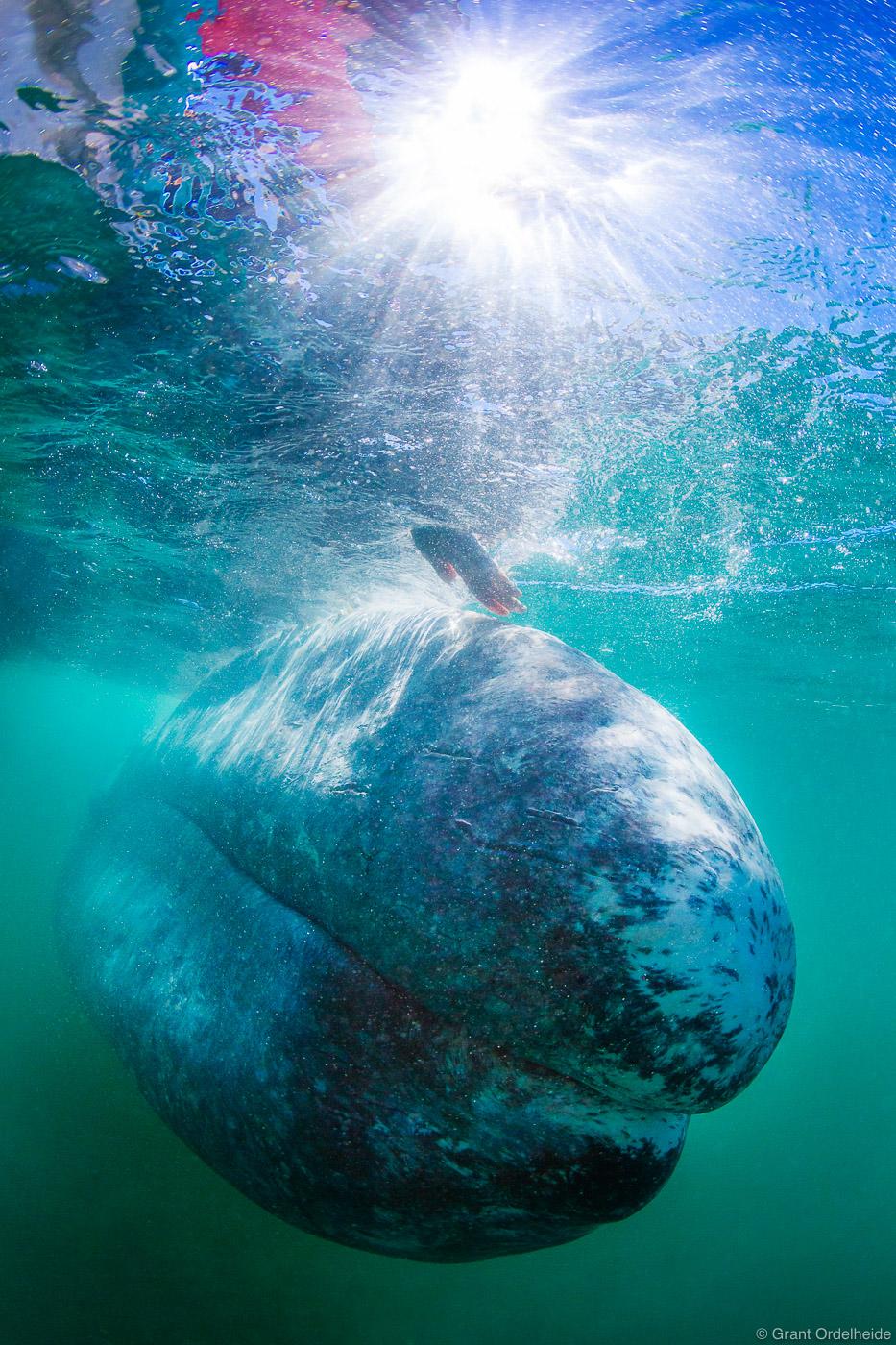 whale, touch, reaches, pet, curious, friendly, gray, whale, eschrichtius robustus, mexico, san ignacio, lagoon, baja, california, sur, photo