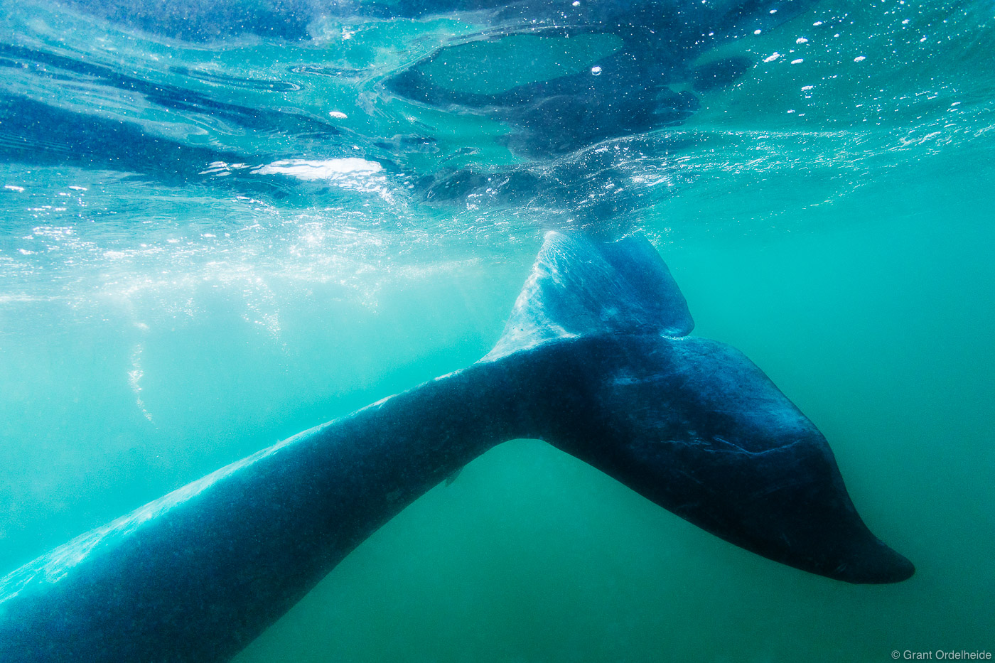 A gray whale  (Eschrichtius robustus) fluke underwater in Mexico's San Ignacio Lagoon