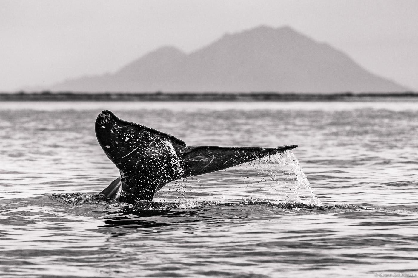 whale, tail, baja, california, sur, mexico, eschrichtius robustus, san ignacio, lagoon, photo