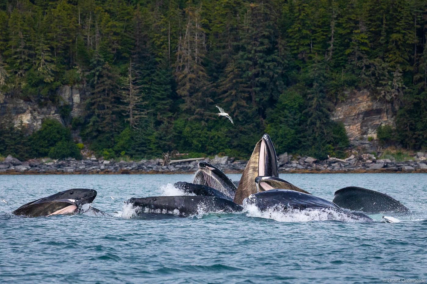 bubble, feeding, Juneau, alaska, pod, humpback, whales,, photo