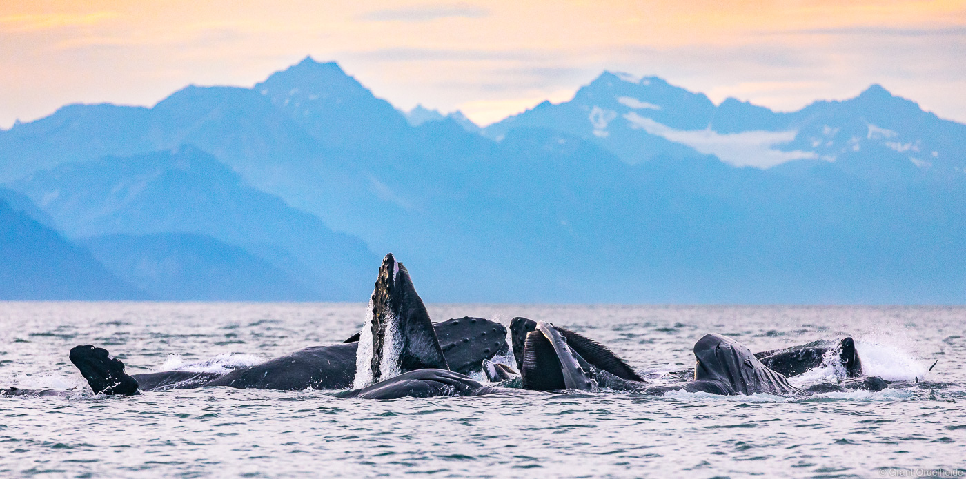 humpback, whales, juneau, alaska, pod, bubble, feeding, sunset, , photo